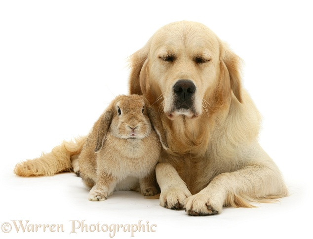 Golden Retriever, Lola, with sandy Lop rabbit, white background