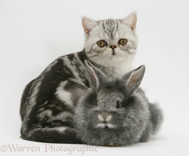 Blue-silver Exotic Shorthair kitten with baby silver Lionhead rabbit, white background
