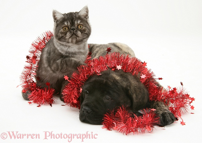 Smoke Exotic kitten and Brindle English Mastiff pup with tinsel, white background