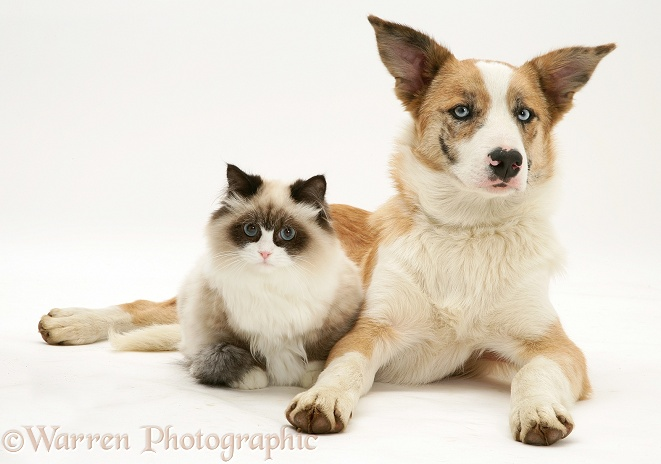 Bicolour colourpoint cat with red merle Border Collie, Zebedee, white background