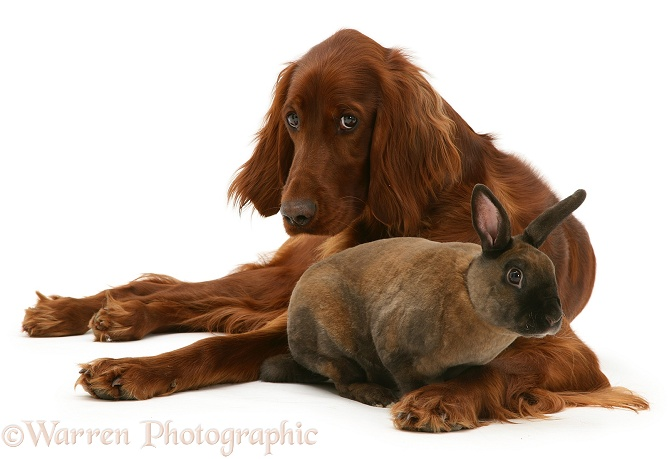 Irish Setter and sooty-fawn dwarf Rex rabbit, white background