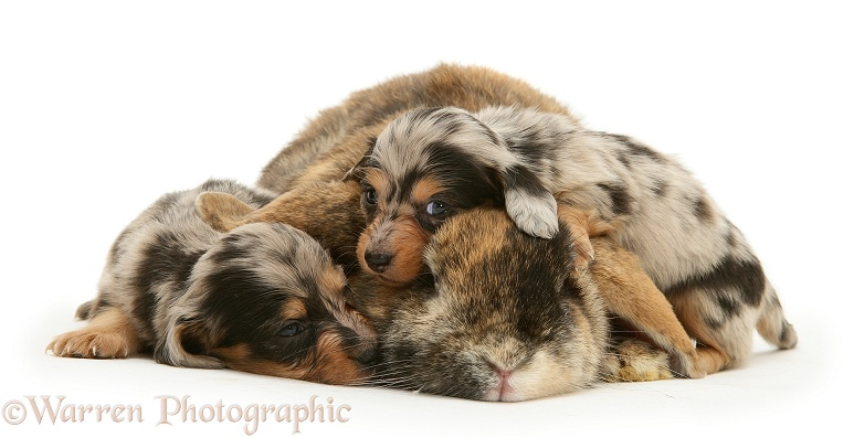 Silver dapple miniature Dachshund pups with tortoiseshell Dwarf Lop doe rabbit, white background