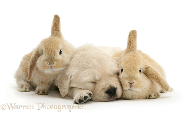 Golden Retriever pup sleeping between two young Sandy Lop rabbits, white background
