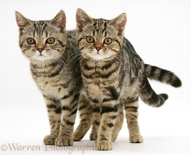 Two British Shorthair Tabby Kittens Photo Wp13624