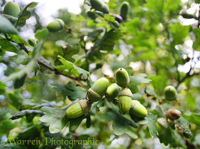 Acorns of Pedunculate Oak (Quercus robur)
