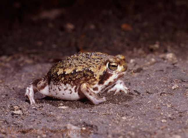 Natal Pyxie Frog (Pyxicephalus natalensis) active after rain.  Southern Africa