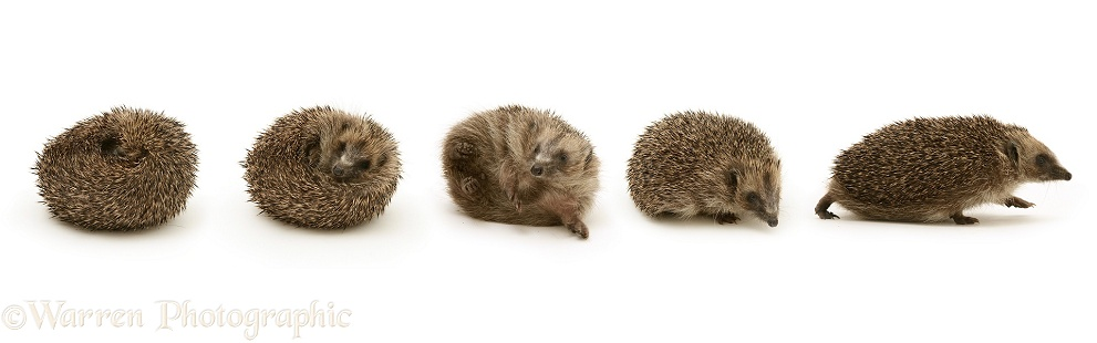 Hedgehog uncurling, white background