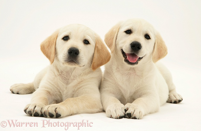 Yellow Goldador Retriever puppies, white background