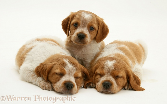Brittany Spaniel pups, 6 weeks old, white background
