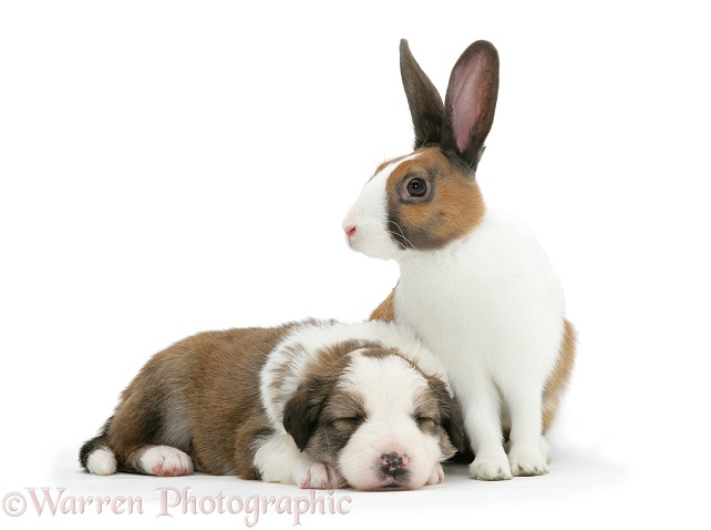 Sleeping Sable-and-white Border Collie pup with matching fawn Dutch rabbit, white background
