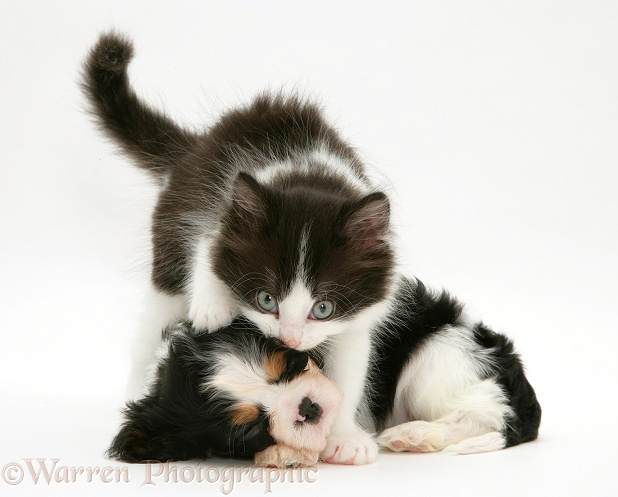 Black-and-white kitten and sleeping Cavalier King Charles Spaniel pup