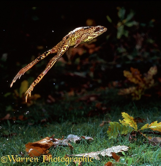 Common Frog (Rana temporaria) leaping.  Europe