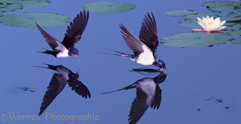 European Swallows (Hirundo rufa) drinking from a garden pond.  Europe, North America, Africa