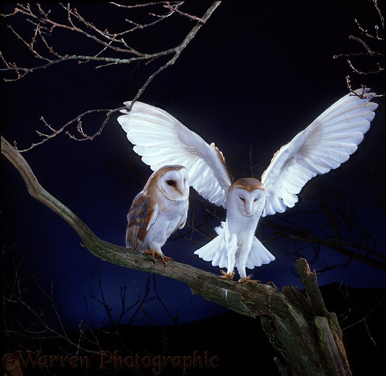 Barn Owl (Tyto alba) pair, male alighting beside female.  Worldwide
