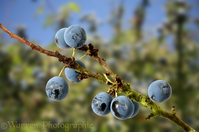 Sloe (Prunus spinosus) fruits in autumn