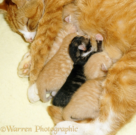 Ginger mother cat suckling her four kittens, 4 days old