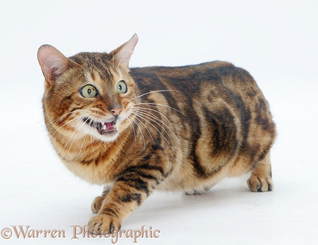 Furtive Bengal cat