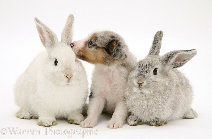 Blue merle Shetland Sheepdog pup with young Lop rabbits, white background