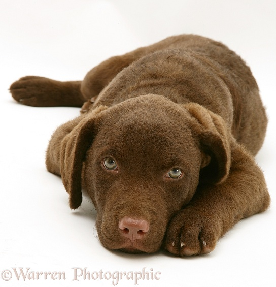Chesapeake Bay Retriever dog pup, Teague, lying with his chin on the floor, white background