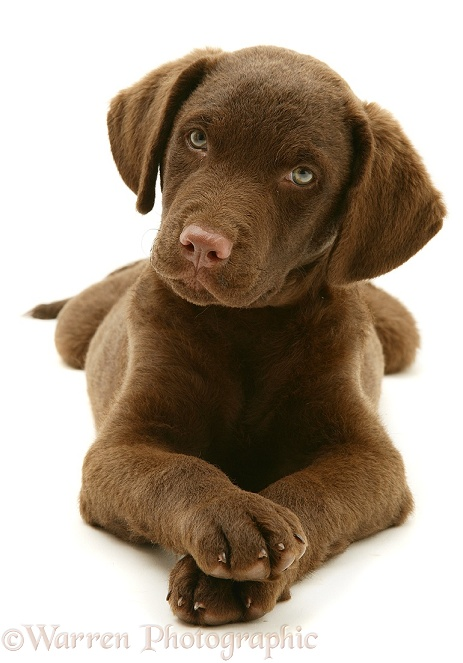 Chesapeake Bay Retriever dog pup, Teague, white background