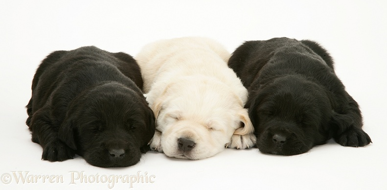 Black and yellow Goldador pups asleep, white background