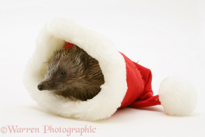 Hedgehog in a Santa hat, white background