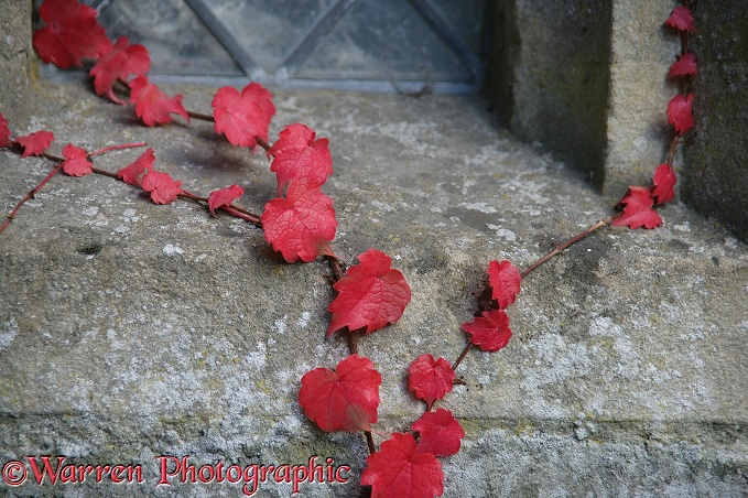 Autumnal Boston Ivy (Parthenocissus tricuspidata) on a wall