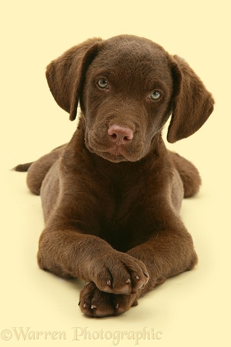 Chesapeake Bay Retriever dog pup, Teague, lying with head up and paws crossed, white background