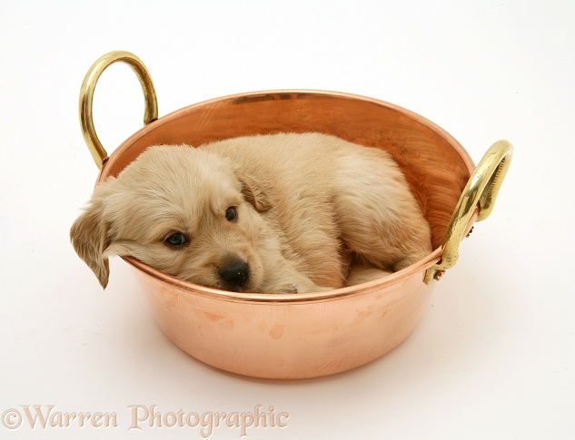 Golden Retriever pup in a copper pan, white background