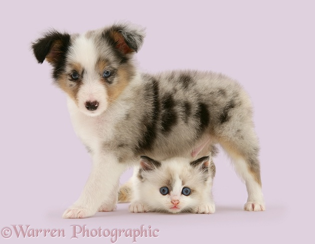 Birman-cross kitten and tricolour merle Shetland Sheepdog pup, white background