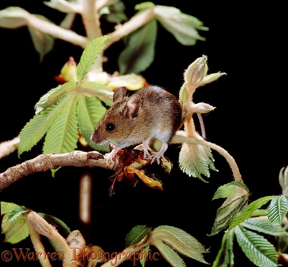 Long-tailed Field Mouse or Wood Mouse (Apodemus sylvaticus) on Horse Chestnut