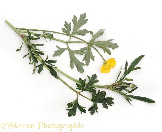 Creeping Buttercup (Ranunculus repens), white background