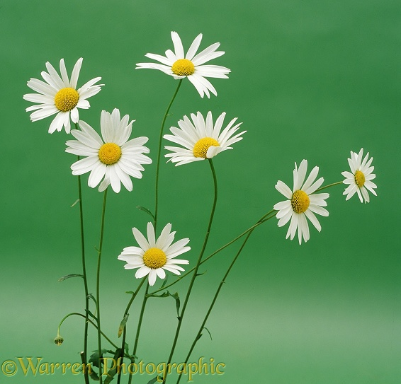 Ox-eye Daisies on green background