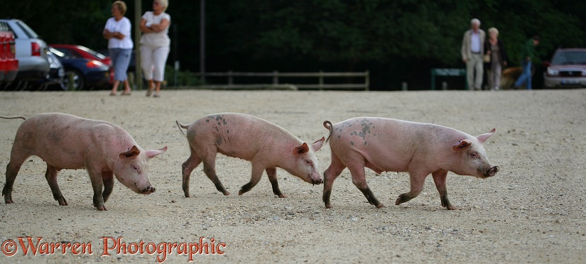 Three piglets trotting along.  New Forest, England