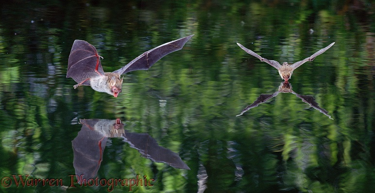 Natterer's Bats (Myotis nattereri) flying over and drinking from a woodland pond.  Europe