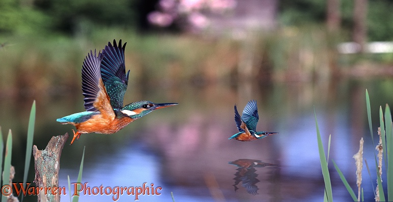 European Kingfishers