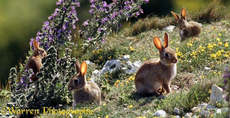 European Rabbit (Oryctolagus cuniculus) group on chalk downland (digital composite)