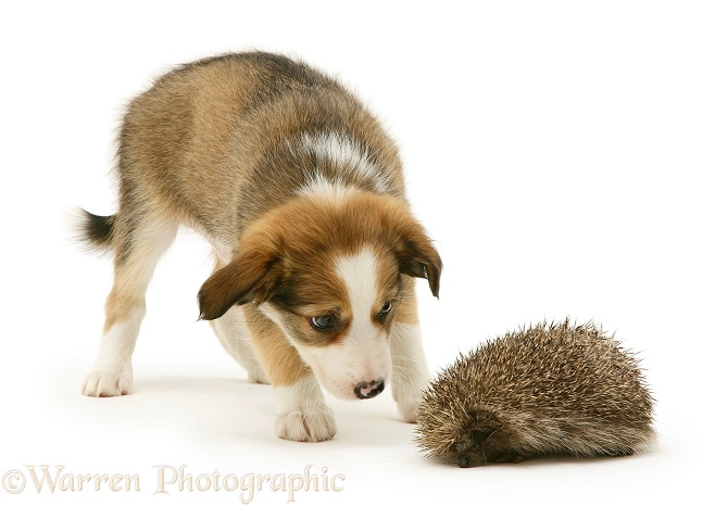 Border Collie pup examining a hedgehog, white background