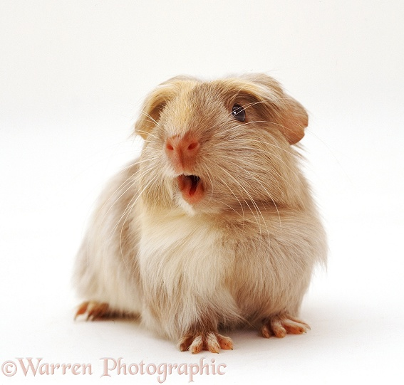 Guinea pig squeaking, white background