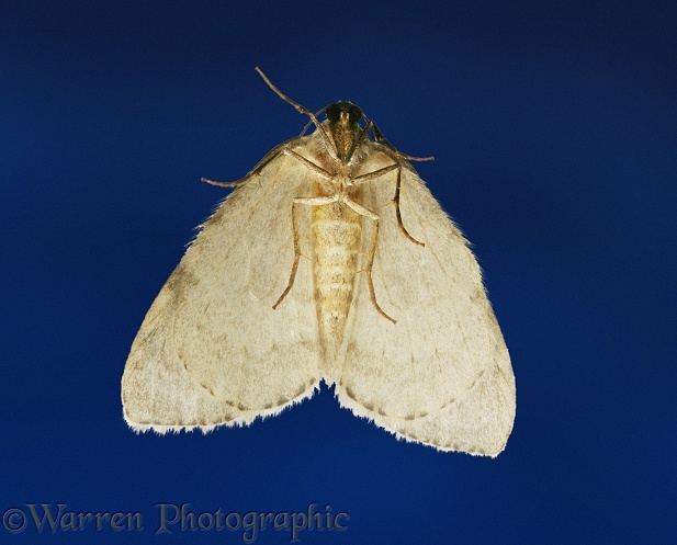 November Moth (Epirrita dilutata) as it is most commonly seen - attracted to a lighted window at night.  Europe