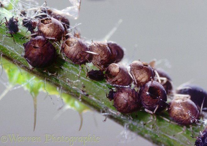 Aphids killed by parasitic wasps, leaving only hollow shells with neatly-cut holes through which the wasps emerged