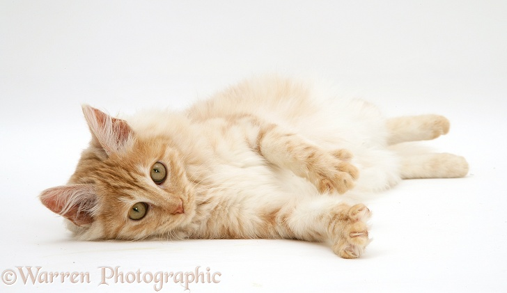 Red silver Turkish Angora cat lying on side, white background