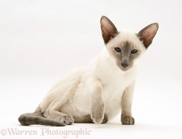 Blue-point Siamese cat, white background