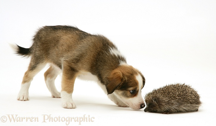 Border Collie pup meeting a young Hedgehog, white background