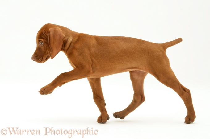 Hungarian Vizsla pup trotting across, white background