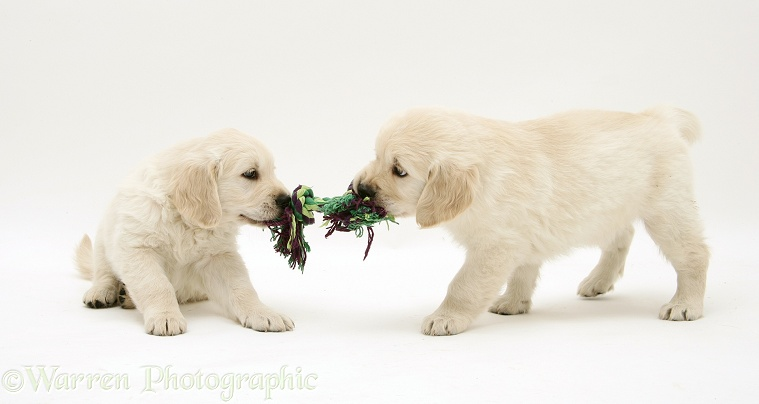 Golden Retriever pups playing tug, white background