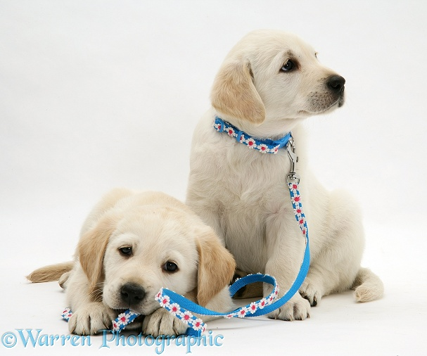 Yellow Goldador Retriever pups with daisy-chain collar and lead, white background