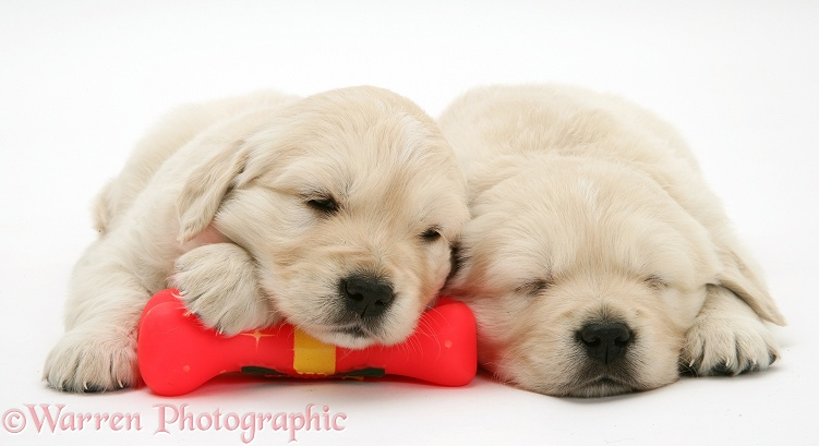 Sleepy Golden Retriever pups, 6 weeks old, white background