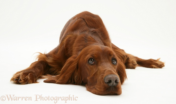 Dog Red Setter Bitch Lying Down Chin On Floor Photo Wp14005