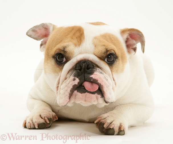 Bulldog bitch, Pixie, with tongue out, white background